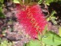 Bottle Brush2
